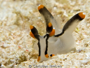 One of many nice nudibrancs found on Mabul :) by Christian Nielsen