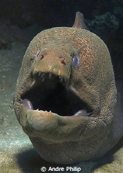 Giant moray portrait by Andre Philip