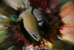 moray eels in contact by Afflitti Gianluca