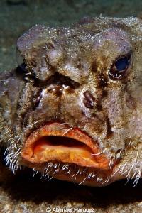 Shortnose Batfish by Abimael Márquez