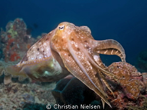 Friendly cuttlefish on the excellent housereef of Seavent... by Christian Nielsen