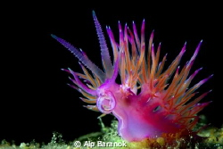Flabellina from Bodrum/Turkey by Alp Baranok