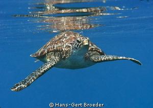 Green turtle Bunaken,Sulawesi,Indonesia, Bunaken Islands... by Hans-Gert Broeder