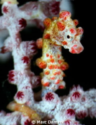 Pygmy Seahorse! These amazing creatures are one of nature... by Marc Damant