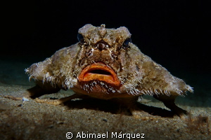 Shortnose Batfish 2 by Abimael Márquez