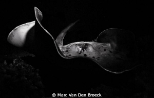 black and white ray by Marc Van Den Broeck
