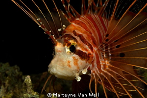 Lionfish close-up by Marteyne Van Well