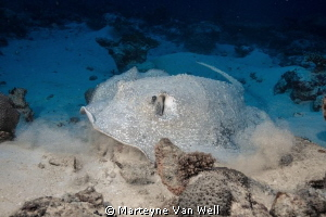 Porcupine Ray ready to take off by Marteyne Van Well