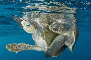 Turtles Mating, Puerto Vallarta Mexico by Alejandro Topete