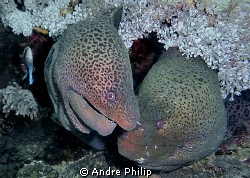 love whispering of giant morays... by Andre Philip