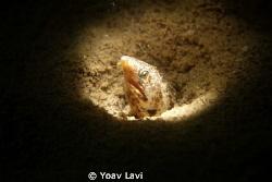 Snooted moray eel by Yoav Lavi