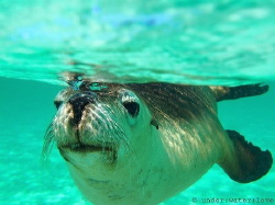 Australian Sea Lion, Jurien Bay Western Australia. Had an... by Rebecca Brooks
