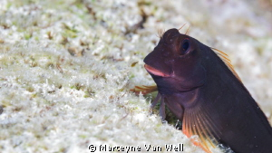 "A blenny close-up at ""Something Special"" in Bonaire by Marteyne Van Well"
