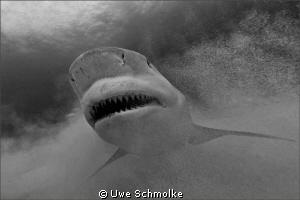 Primal fear - Bullshark smile. by Uwe Schmolke