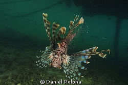 Lion fish 'chief' under resort's wharf by Daniel Poloha