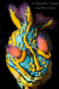 Nudibranch on Black, Puerto Vallarta Mexico by Alejandro Topete
