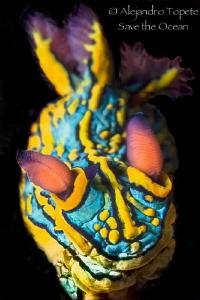 Nudibranch on Black, Puerto Vallarta Mexico by Alejandro Topete