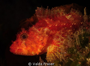 A scorpionfish. by Valda Fraser