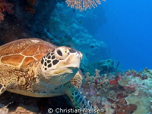 One of the many green turtles in Sipadan by Christian Nielsen