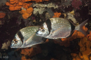 A pair of Diplodus Vulgaris. by Mehmet Salih Bilal