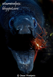 moray eel and cleaner shrimp by Oscar Miralpeix