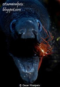 moray eel and cleaner shrimp by Oscar Miralpeix