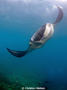 One of many manta rays feeding at Manta Bay, Nusa Penida.... by Christian Nielsen