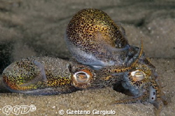 Bobtail squids mating...