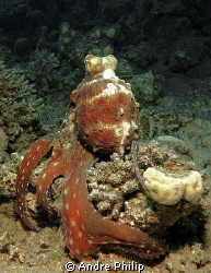 octopus groping for prey under a coral by Andre Philip