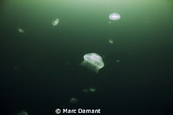 Aliens Everywhere! During the summer we get large congrig... by Marc Damant