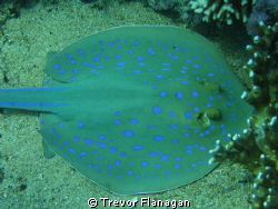 Blue Spotted Ray completely unconcerned about my close pr... by Trevor Flanagan