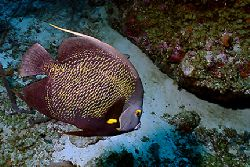French Angelfish swimming near a wreck in Aruba. Nikonos ... by Matthew Shanley
