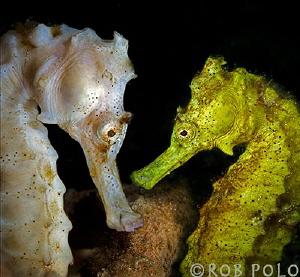 SeaHorses by Robert Polo