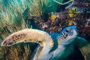 Turtle with corals, Galapagos Ecuador by Alejandro Topete