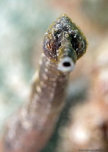 Stick Pipefish, Pulau Weh by Doug Anderson