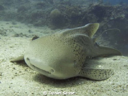 Leopard (Zebra) Shark taken while Scuba Diving at the Mar... by Daniel Sasse