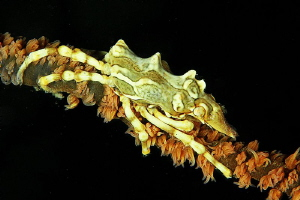 coral shimp by Afflitti Gianluca