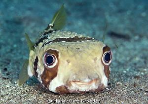 Porcupine Fish Smile Wori, near Manado,Sulawesi,Indones... by Hans-Gert Broeder