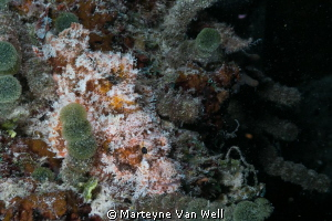 Baby scorpion fish on House Reef at Six Senses Laamu, Laa... by Marteyne Van Well