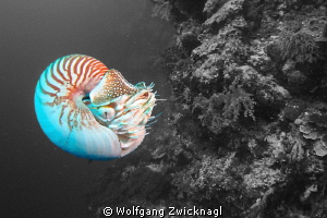 Nautilus photo session on Palau - probably the best place... by Wolfgang Zwicknagl