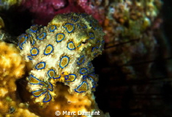 Adorable! This Blue Ring Octopus was just hanging out on ... by Marc Damant
