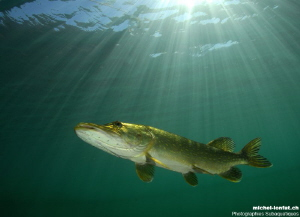 Adult Pike Fish in the sunlight... :O).. by Michel Lonfat