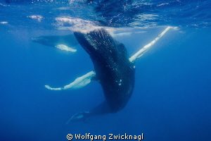 Adult humpback whale mother dancing between her cub and m... by Wolfgang Zwicknagl