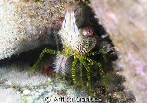 shrimp..... by Afflitti Gianluca
