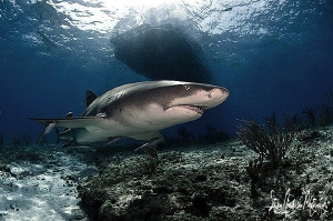 Can't get past those Lemon Sharks at Tiger Beach - Bahamas by Steven Anderson