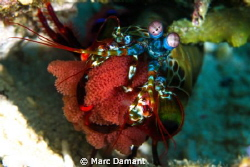 Hold the next generation! A beautiful Mantis shrimp clutc... by Marc Damant