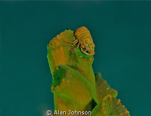 shrimp lembeh , Sulawesi by Alan Johnson