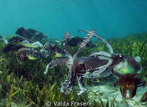 Lots of activity at the nesting site - broadclub cuttlefish. by Valda Fraser