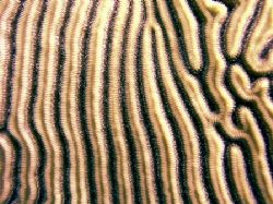 Detail of brain coral, taken on the Belize Barrier Reef. by Martin Spragg