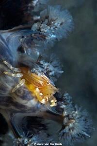 Softcoral Crab by Goos Van Der Heide